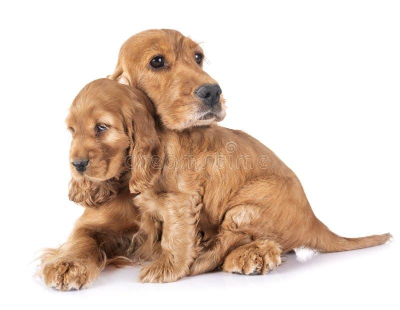 Perrito y madre cocker spaniel imágenes de archivo libres de regalías