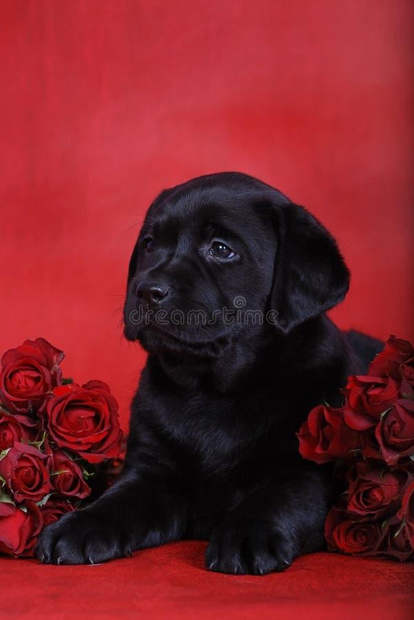 Perrito y rosas imagen de archivo libre de regalías