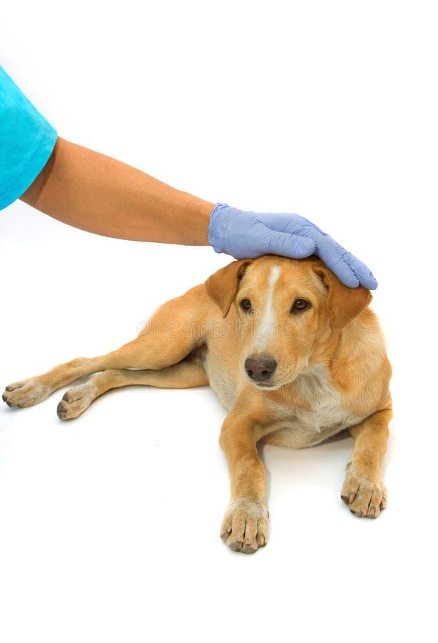 Perrito y veterinario sanos lindos imagen de archivo libre de regalías