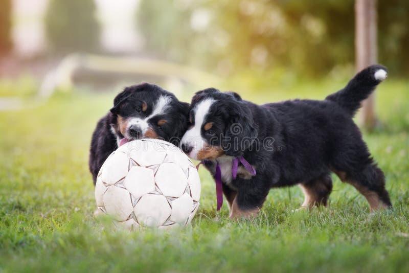 Perritos adorables del perro de montaña bernese con una bola del fútbol fotografía de archivo