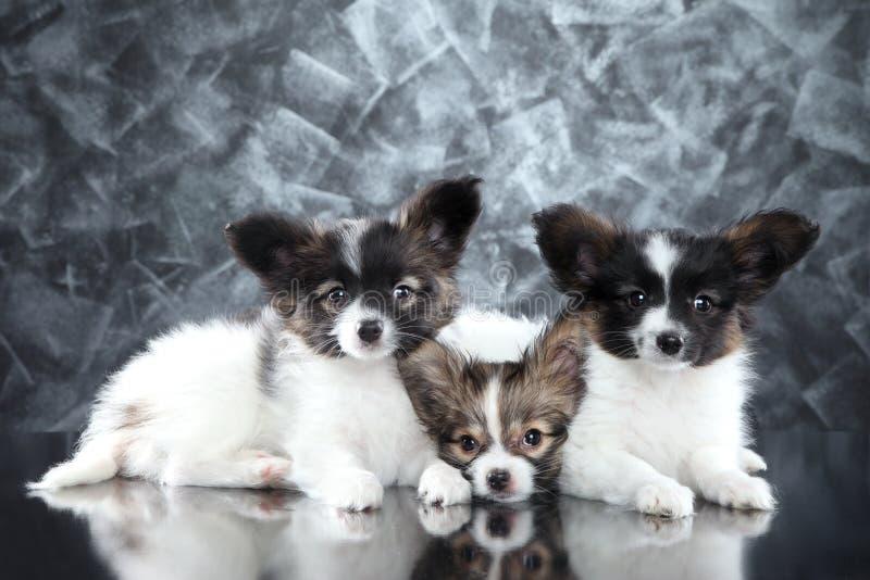 Perritos continentales del perro de Toy Spaniel en fondo gris imagenes de archivo