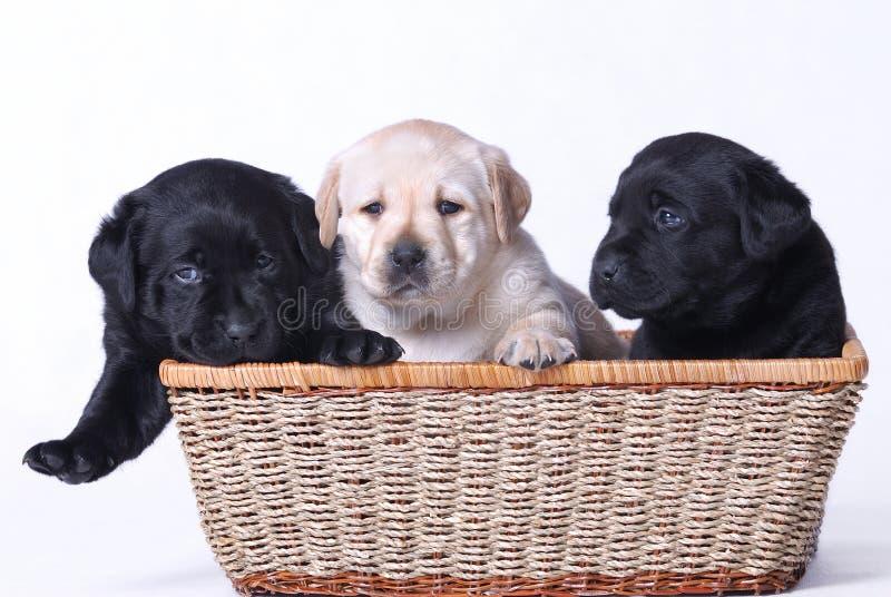 Perritos de Labrador foto de archivo libre de regalías