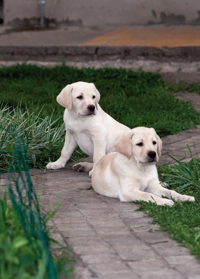 Perritos de Labrador (perro perdiguero) imagen de archivo