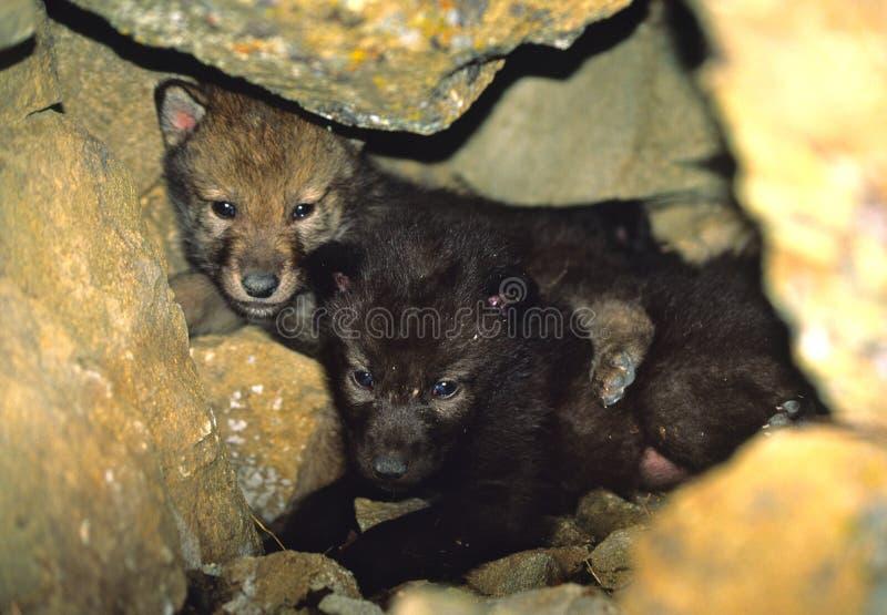 Perritos de lobo gris en guarida imagen de archivo