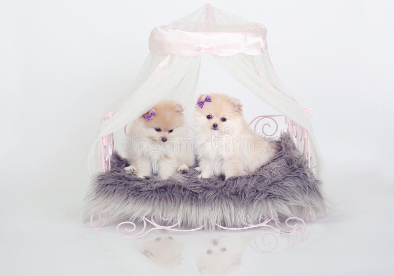 Perritos de Pomeranian foto de archivo libre de regalías