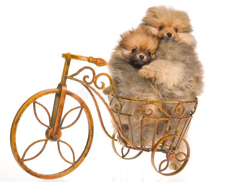 Perritos de Pomeranian en la mini bicicleta imagen de archivo