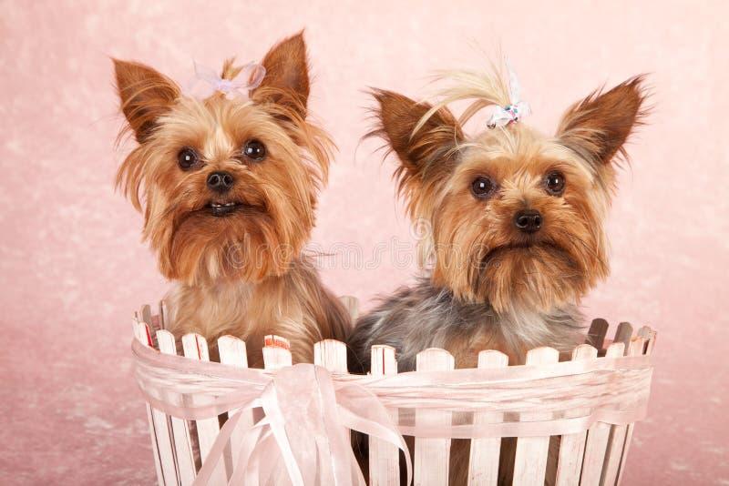 Perritos de Yorkshire Terrier imagen de archivo