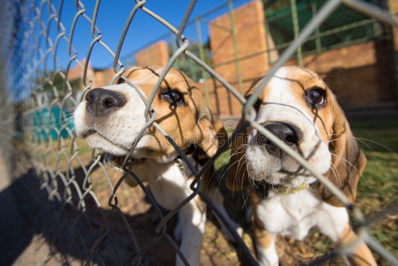 Perritos del beagle imagen de archivo