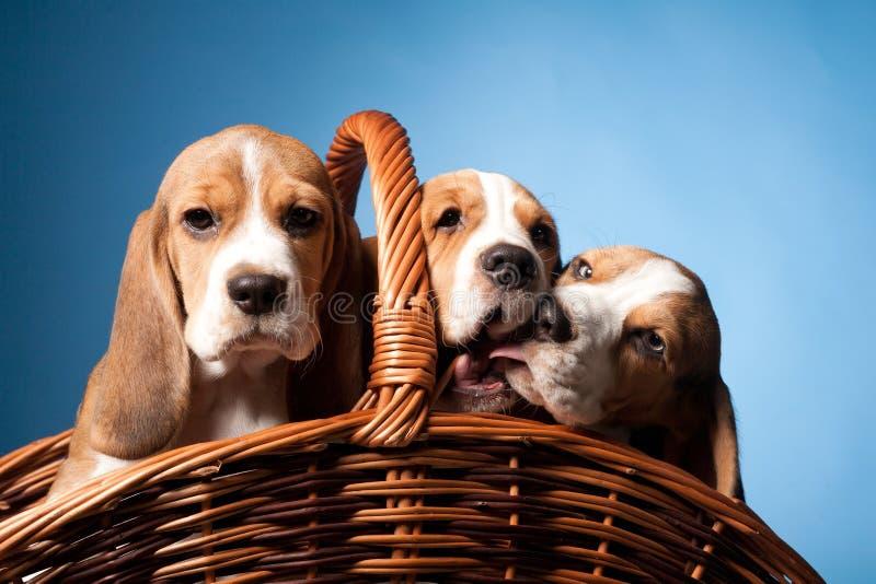 Perritos del beagle imagenes de archivo
