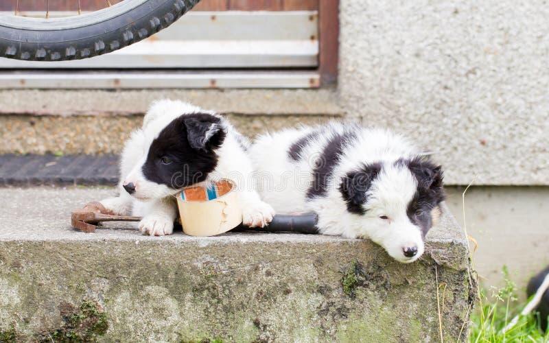 Perritos del border collie que duermen en una granja imagenes de archivo
