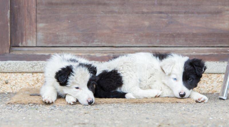 Perritos del border collie que duermen en una granja fotografía de archivo libre de regalías