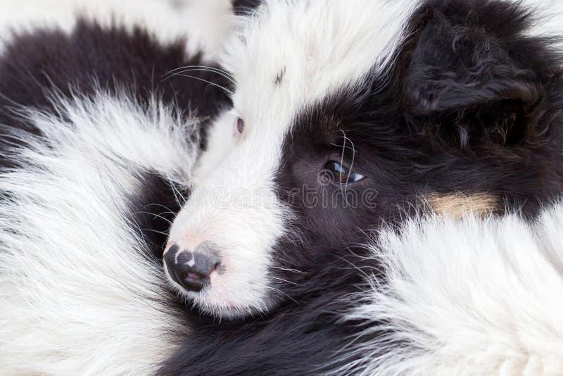 Perritos del border collie que duermen en una granja fotografía de archivo