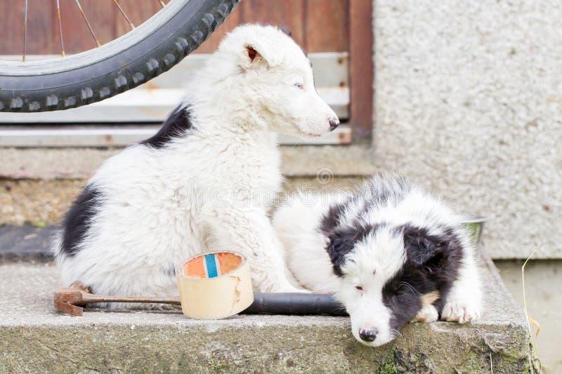 Perritos del border collie que duermen en una granja imagen de archivo