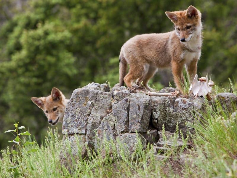 Perritos del coyote en el outcropping de la roca fotografía de archivo libre de regalías