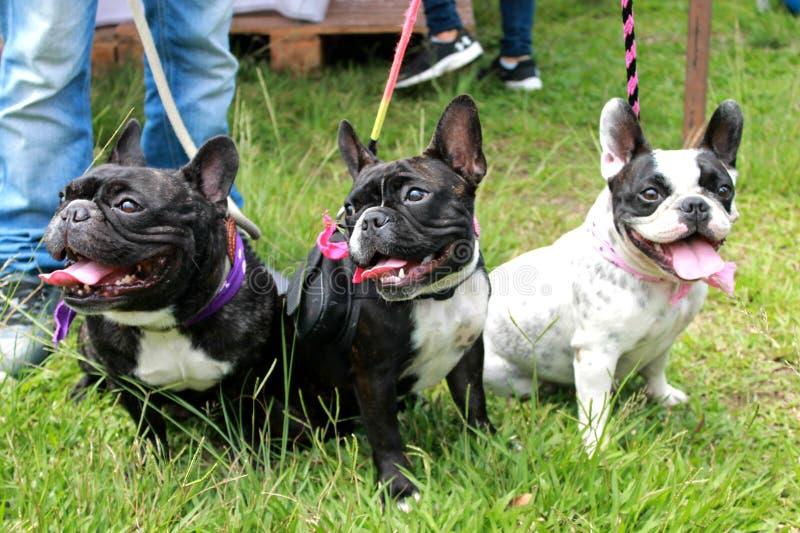 Perritos del dogo francés en un parque fotografía de archivo libre de regalías