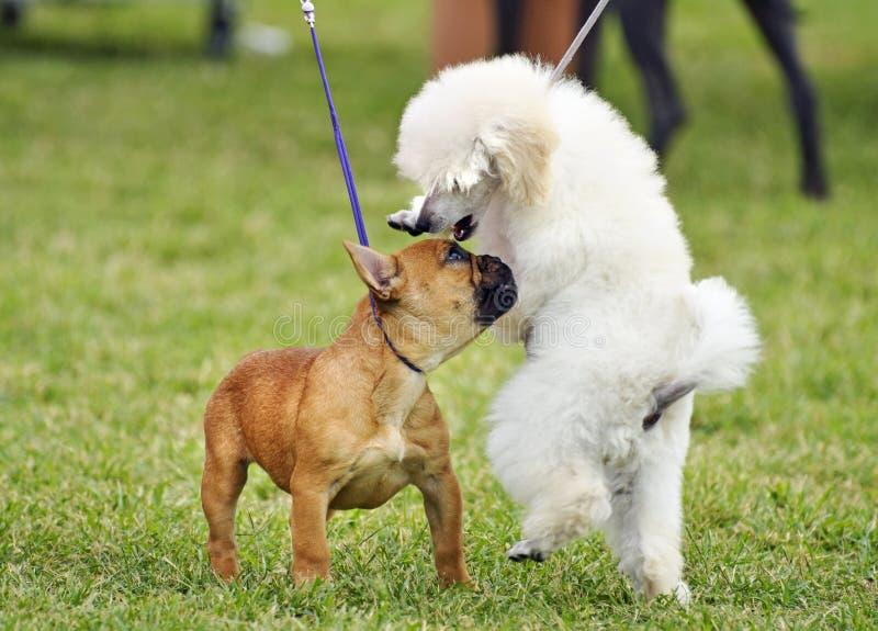 Perritos del dogo francés y de Toy Poodle del bebé que socializan jugando a la exposición canina foto de archivo libre de regalías