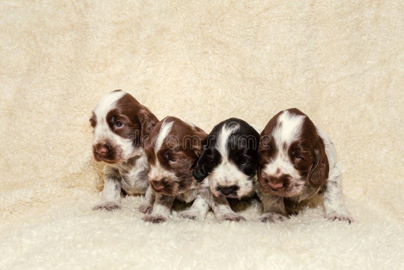 Perritos del perro de cocker spaniel del inglés foto de archivo