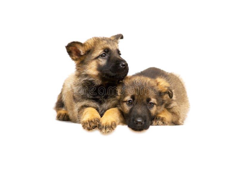 Perritos del perro pastor de Alemania imagen de archivo libre de regalías
