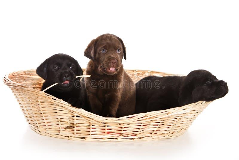 Perritos del perro perdiguero de Labrador imágenes de archivo libres de regalías