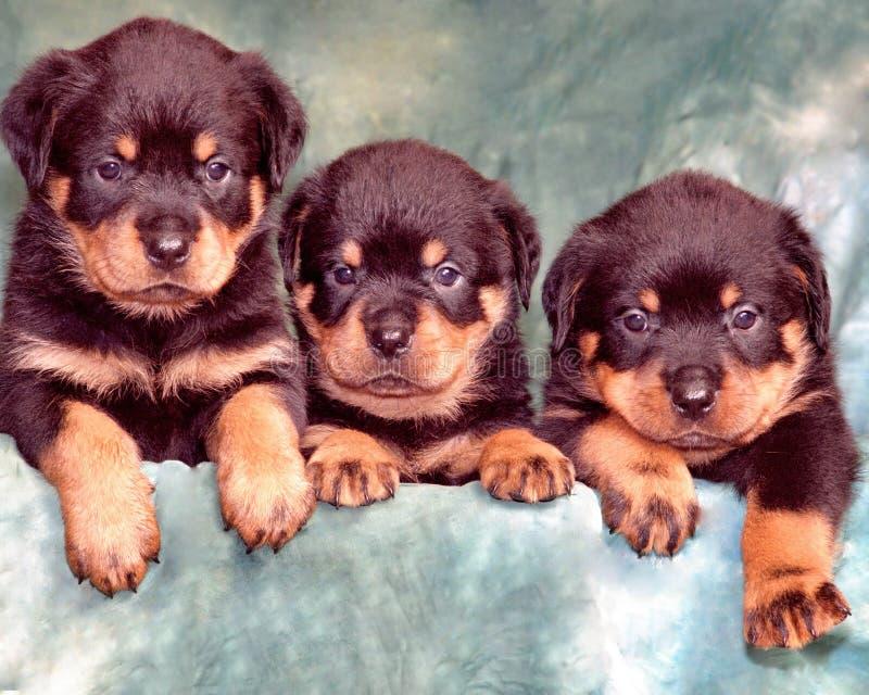 Perritos del rottweiler foto de archivo libre de regalías
