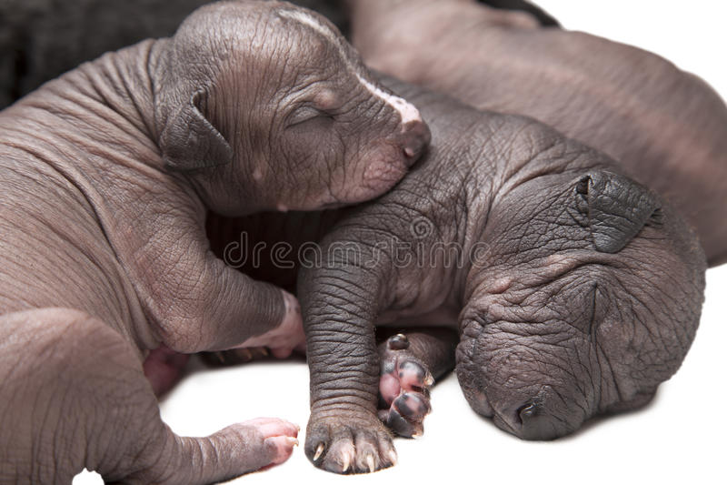 Perritos mexicanos recién nacidos del xoloitzcuintle imagen de archivo