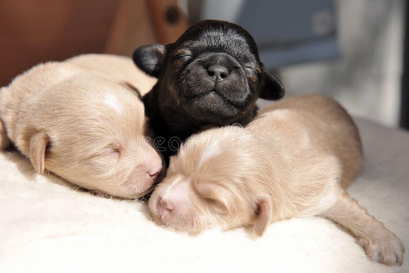 Perritos recién nacidos foto de archivo