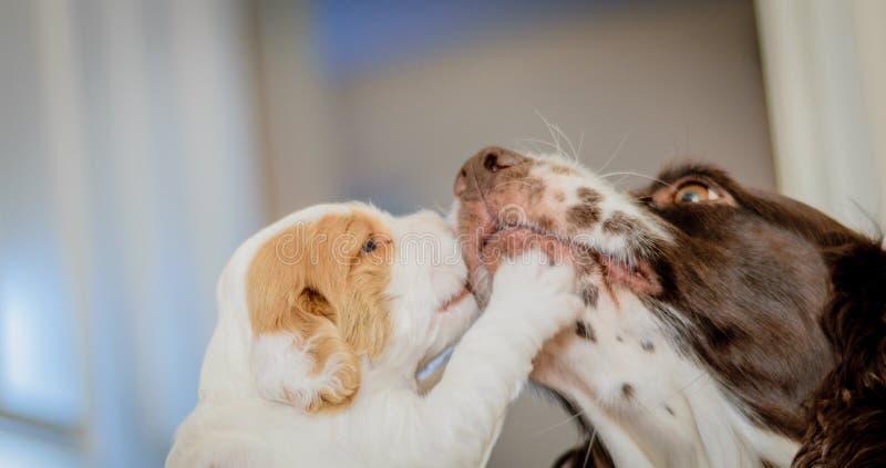 4 perritos viejos adorables de cocker spaniel de la semana fotografía de archivo libre de regalías