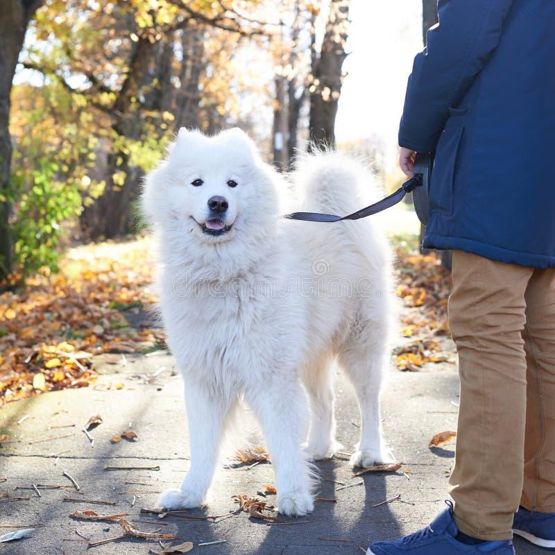 Perro ártico del samoyedo del perro de Pomerania que camina al aire libre fotografía de archivo