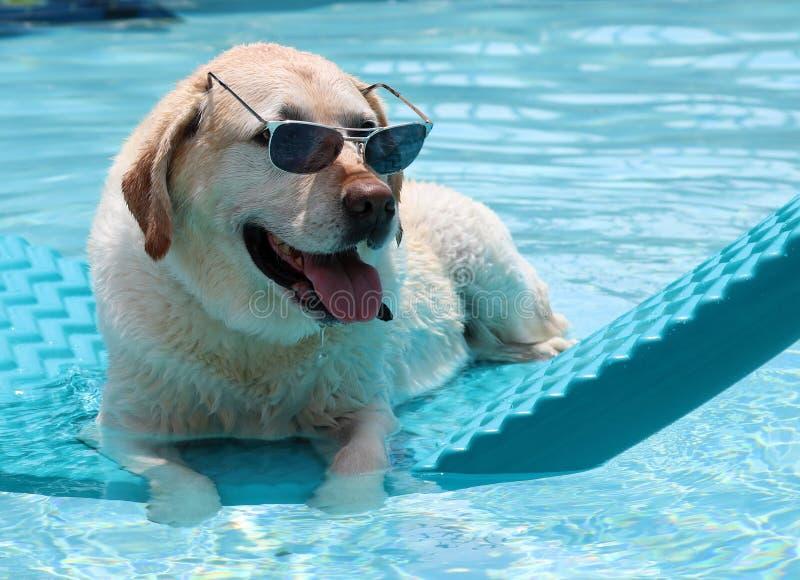 Perro único hermoso que se relaja en la piscina en una cama flotante, perro de Labrador del golden retriever con divertido estupe imagen de archivo