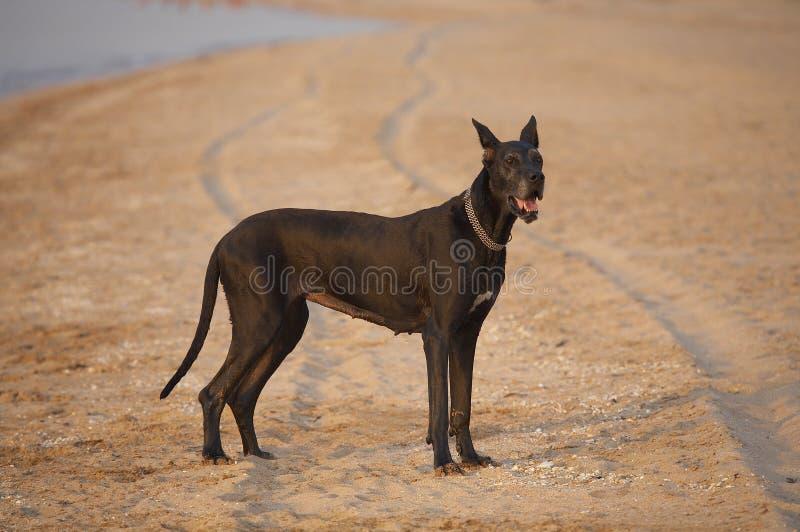Download Perro foto de archivo. Imagen de protector, playa, compañero - 1299540