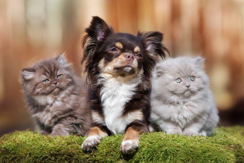 Perro adorable de la chihuahua con dos gatitos mullidos imágenes de archivo libres de regalías