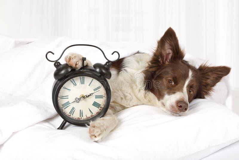 Perro adorable de la raza de la frontera del collie que duerme en cama foto de archivo libre de regalías