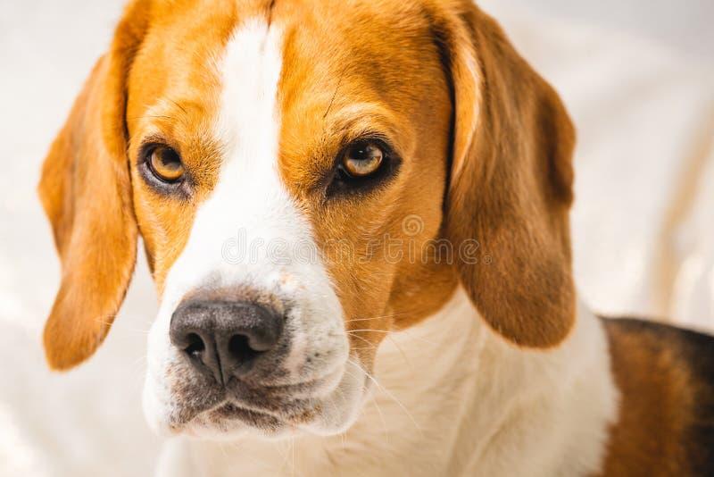 Perro adorable del beagle aislado contra fondo gris fotos de archivo libres de regalías