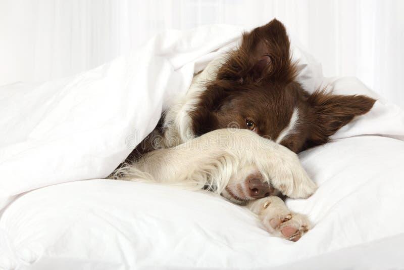 Perro adorable del border collie que miente en una cama debajo de la manta imágenes de archivo libres de regalías