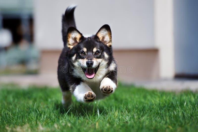 Perro adorable del corgi que corre al aire libre fotografía de archivo