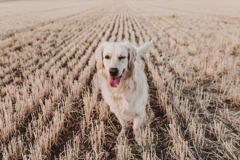 Perro adorable del golden retriever en campo amarillo en la puesta del sol Retrato hermoso del perro joven que hace una cara del  fotografía de archivo libre de regalías