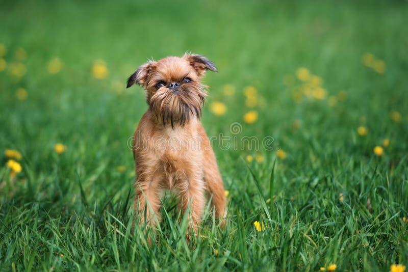 Perro adorable del griffon de Bruselas al aire libre en verano foto de archivo