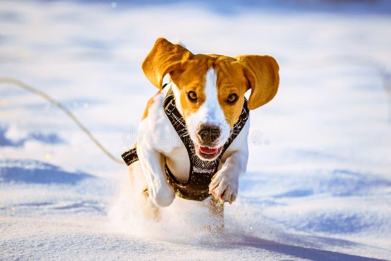 Perro adorable que corre en día de invierno soleado de la nieve profunda fotografía de archivo