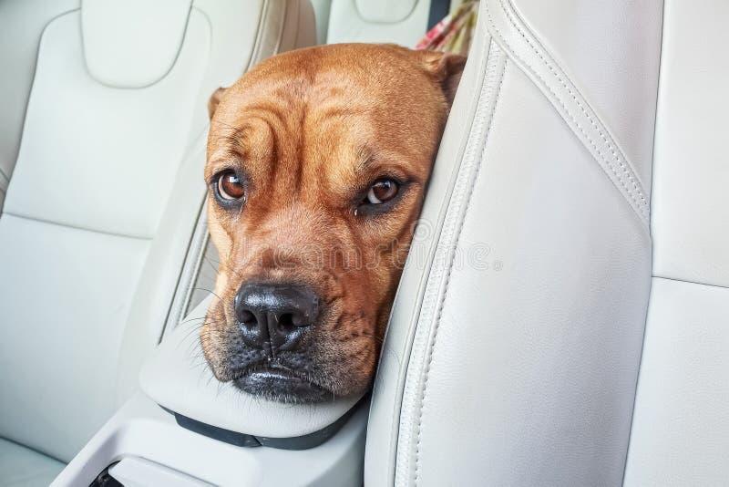 Perro agujereado del bullmastiff en coche fotografía de archivo