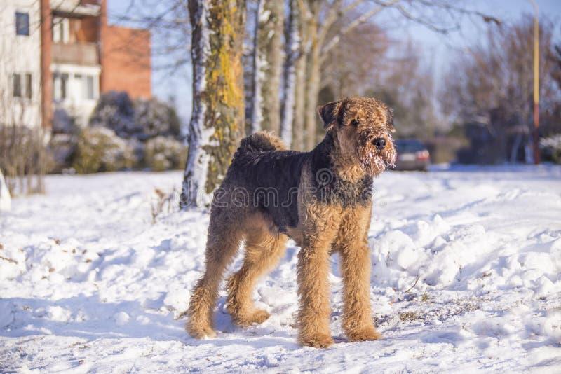 Perro Airedale Terrier en una nieve fotografía de archivo