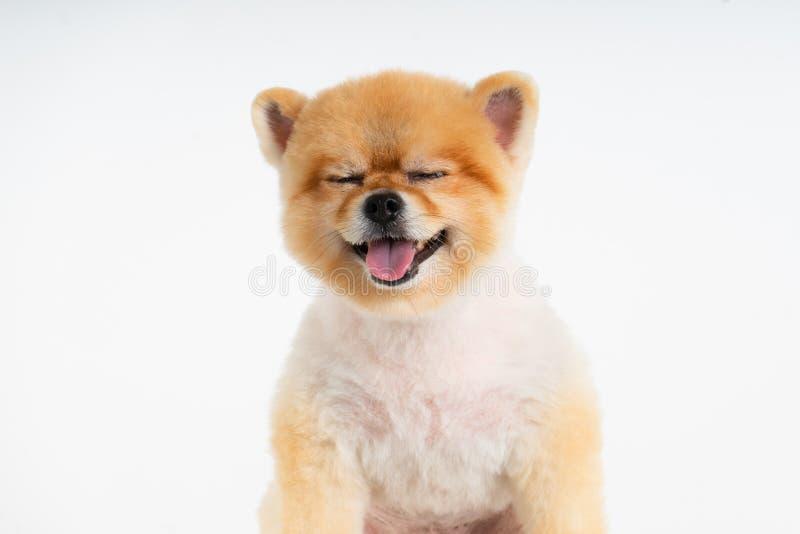 Perro aislado de Pomeranian del retrato del primer que sonríe con la cara divertida en el fondo blanco Estudio tirado de pequeñ fotos de archivo