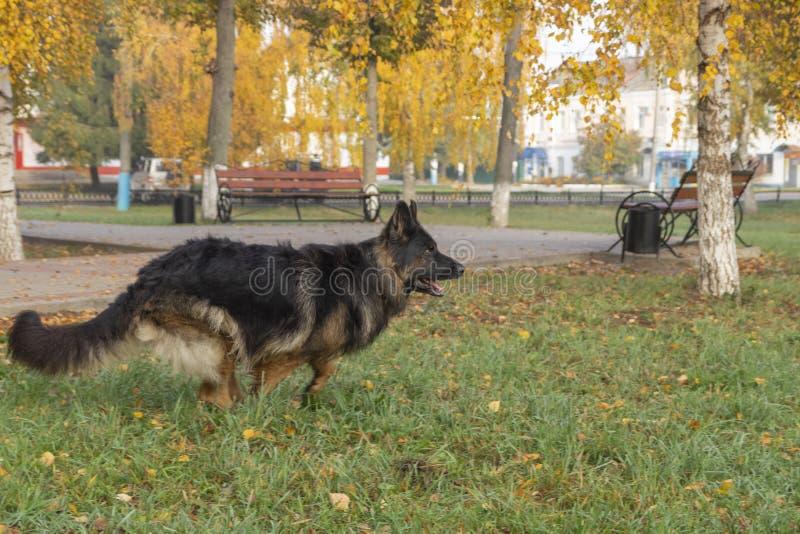 Perro alemán de Shepard foto de archivo libre de regalías