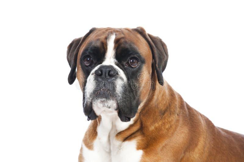 Perro alemán del boxeador foto de archivo