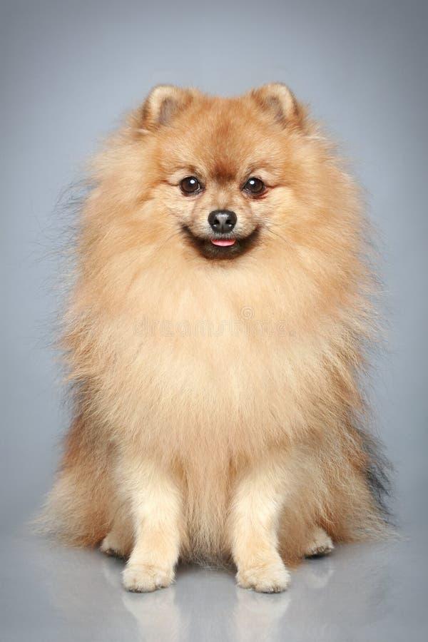 Perro alemán del perro de Pomerania fotografía de archivo
