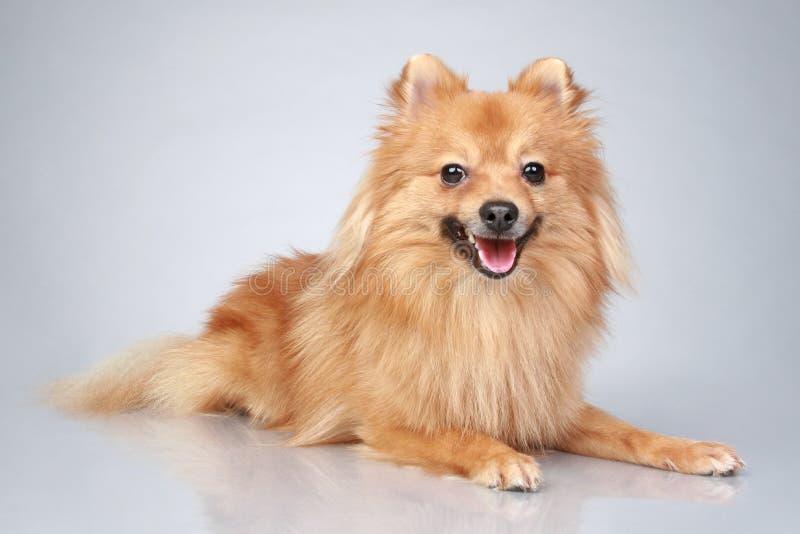 Perro alemán del perro de Pomerania en un fondo gris imagen de archivo