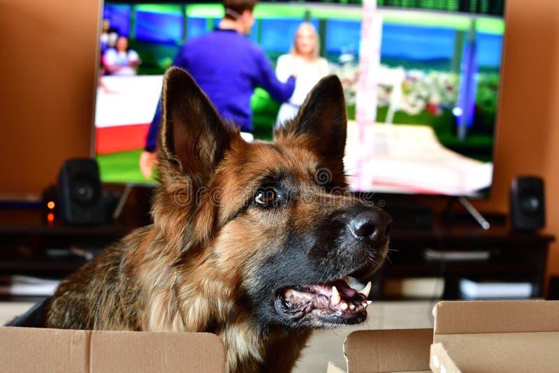 Perro alemán del shepard en sitio imagen de archivo