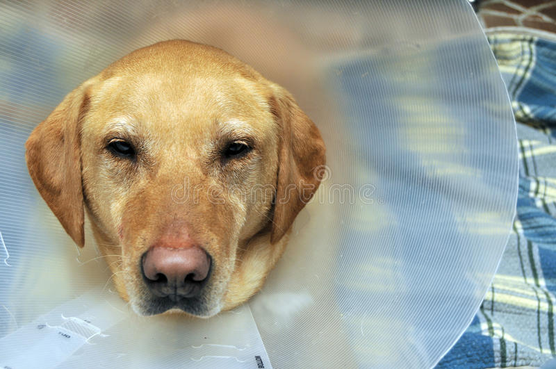 Perro amarillo dañado del laboratorio con el cono fotografía de archivo libre de regalías