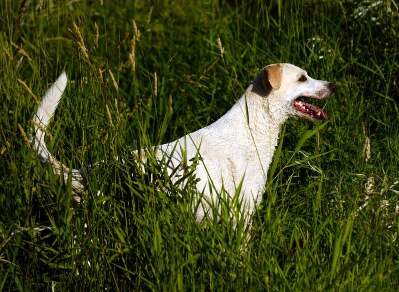 Perro amarillo del labrador retriever en la caza de la hierba después de una nadada. imágenes de archivo libres de regalías