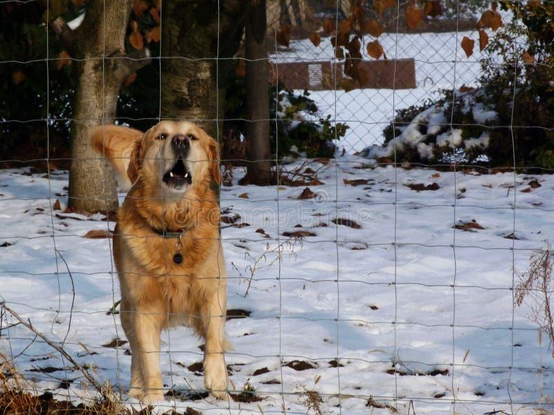 Perro amarillo enojado detrás de la cerca de alambre en patio trasero fotos de archivo libres de regalías