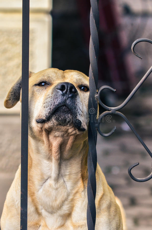 Perro amarillo que se sienta detrás de una cerca fotografía de archivo libre de regalías